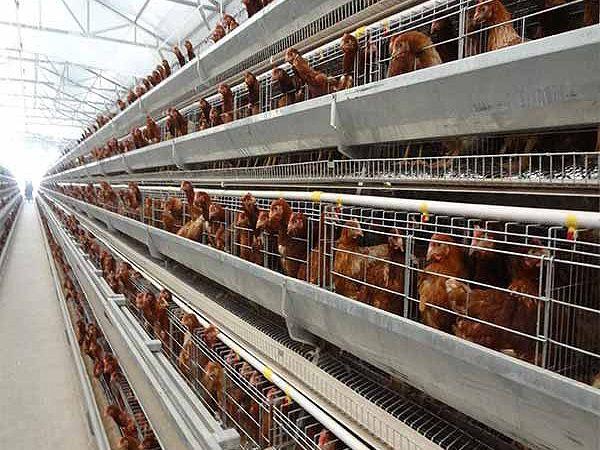 层叠式蛋鸡养殖设备